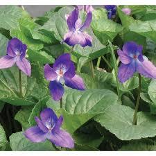 Fragrant Plants For Shade - blue fragrant violet viola odorata shade sun requirement