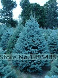 aliexpress com buy 50 quality blue spruce tree seeds home garden