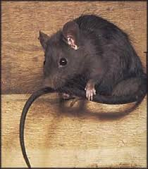 roof rat images u0026 the two most common types of rats found in the