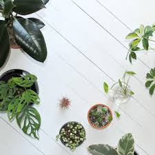 Tree Care Tips To Make by How To Care For Pilea Peperomioides Clever Bloom