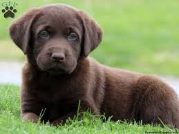 puppies for sale pa covington chocolate lab puppy for sale from bird in