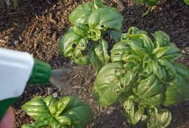 homemade garden insect spray that really works