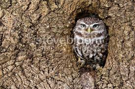 owl standing in the in an tree trunk owl