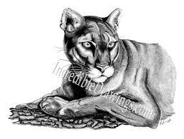 female lion sketches drawings mountain lions pictures tatoos