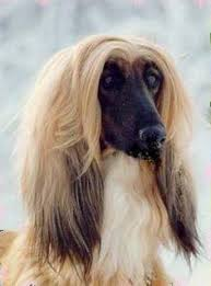 afghan hound stupid afghan hound afghans and puppy facts on pinterest