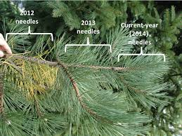 what s wrong with my pine tree nothing the garden professors