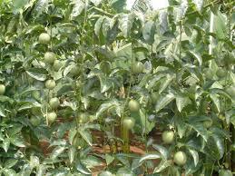 faim co blog archive passion fruit plants on trellis