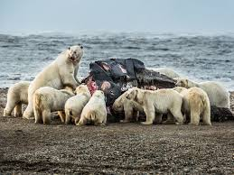 Alaska Records Search Pictures 80 Polar Bears Throng In Search Of Whale
