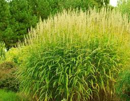 73 best ornamental grass images on ornamental grasses