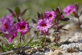anza borrego desert flowers see the epic anza borrego desert super bloom for yourself the