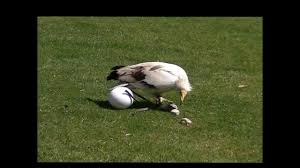 egyptian vulture breaking egg with a stone youtube