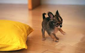cute puppies 2 wallpapers cute chihuahua puppy playing wallpapers cute chihuahua puppy
