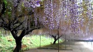 The Wisteria Flower Tunnel At Byakugou Ji Hyogo Prefecture Youtube