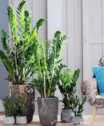 zanzibar gem plants from spalding bulb homelife indoor
