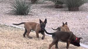 belgian shepherd malinois for sale azworkingdogs com belgian malinois puppies for sale kaya u0027s