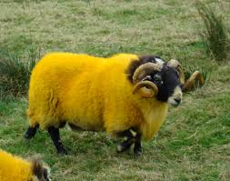 can anyone explain fluorescent yellow sheep to me flickr
