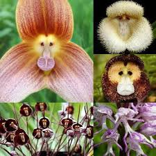 Awesome Looking Flowers Best 25 Monkey Orchid Ideas On Pinterest Unusual Flowers