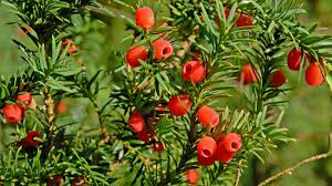 native irish plants taxus baccata l plants of the world online kew science