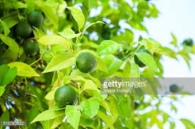 lemon trees in orchard stock photo getty images