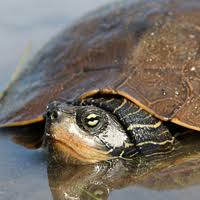 map turtle northern map turtle ontario ca