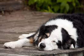 swelling in dogs symptoms causes diagnosis treatment
