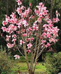 best blossom tree for small garden evergreen flowering trees for