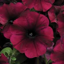 petunia flowers easy wave petunia seed collection flowers and bulbs veseys