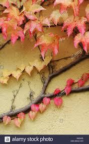 climbing plants wild vine ivy autumn stock photo royalty free