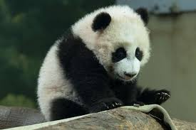 atlanta zoo panda cubs ya lun and xi lun album on imgur
