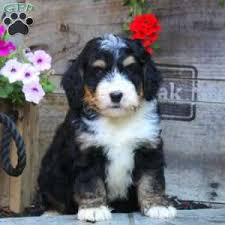 bluetick coonhound puppies indiana miniature bernedoodle puppies for sale greenfield puppies