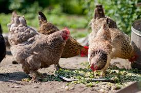 What To Feed Backyard Chickens by Backyard Chickens How To U0027grow U0027 Your Own Feed While Increasing