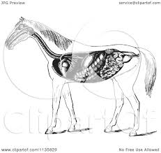 clipart of a retro vintage engraved horse anatomy of the digestive