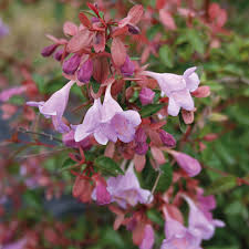 evergreen scented shrubs at thompson morgan
