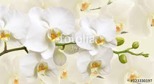 White Orchid Flower Large White Orchid Flowers In A Panoramic Image
