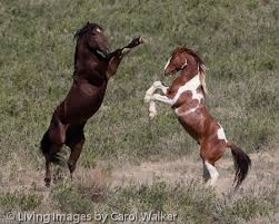 colorado mustang horses the blm must not be allowed to destroy herds for