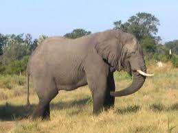 file elephant in botswana jpg wikimedia commons