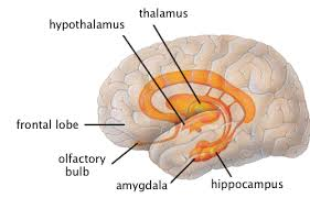 Part Of Brain That Controls Arousal The Limbic System