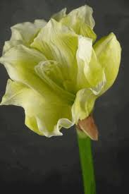 Silk Amaryllis Flowers - 347 best amaryllis images on pinterest flowers flowers garden