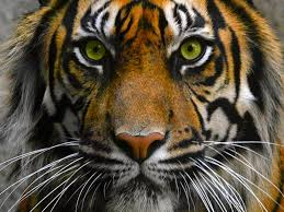 tiger it stop