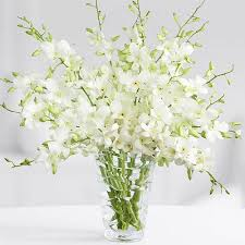 dendrobium orchids send baby orchids lovely baby dendrobium orchids to saudi arabia