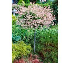 cottage farms dappled willow ornamental tree qvc