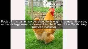 marsh daisy chicken top 6 facts youtube