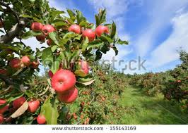 apple orchard collection home interiors apple orchard stock images royalty free images vectors