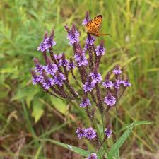deer resistant native plants blue vervain verbena hastata deer resistant cut flower maine