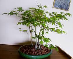 bonsai australian native plants bonsai kiyanti2008 u0027s weblog