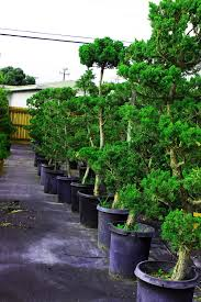 juniper garden bonsai tree 15 gallon pot house of bonsai