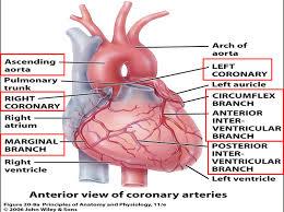 anatomy of the hear choice image learn human anatomy image