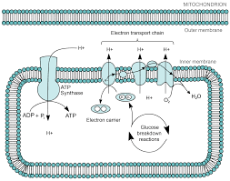mitochondria and chloroplasts article khan academy