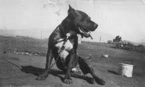 american pit bull terrier history tudor u0027s black jack jr american pit bull terrier pinterest