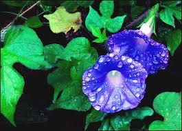 Purple Flower On A Vine - the best annual flowering vines sunday gardener